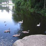 Park Olexandria: Swan Lake